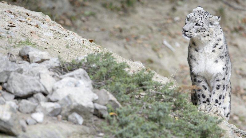 Zoo de Zurich: la léoparde des neiges Dshamilja a été endormie