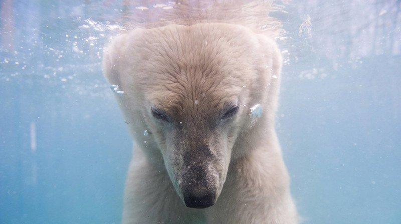 Les ours polaires sont victimes du réchauffement global, et la fonte des glaces dans l'Arctique les force à passer plus de temps à la recherche de nourriture. (Archives)