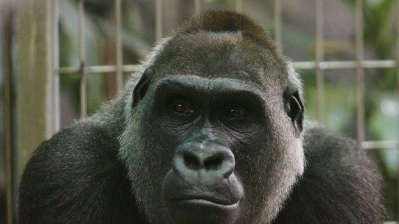 Animaux: Mamitu, gorille du zoo de Zurich, est morte à l'âge de 41 ans
