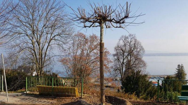 Quatre platanes ont été replantés par le service des Espaces verts de la Ville de Nyon.