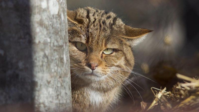 Des chats sauvages au zoo de La Garenne