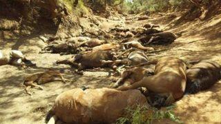 Chaleur extrême en Australie: 40 chevaux retrouvés morts dans un point d'eau asséché