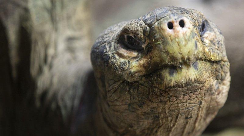 Équateur: 155 tortues géantes repeuplent l'île de Santa Fe de l'archipel des Galapagos