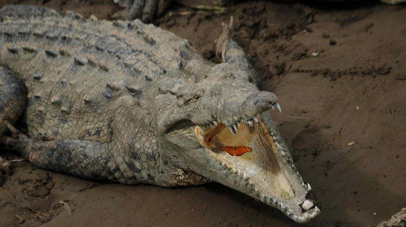 Malaisie: un crocodile tue un homme sous les yeux de son neveu