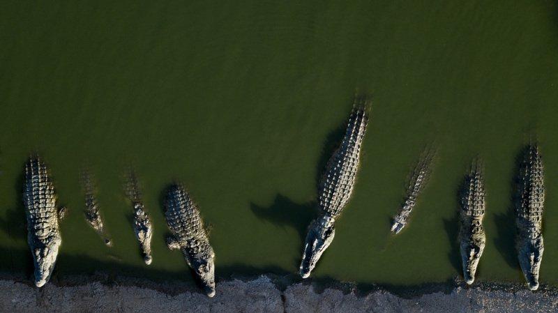 Paléontologie: quand crocodiles et volatiles s'aimaient d'amour tendre