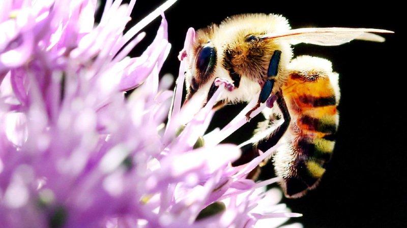 L'an dernier, quatre cas aigus d'intoxication de colonies d'abeilles ont été répertoriés, a annoncé apiservice mercredi. (illustration)