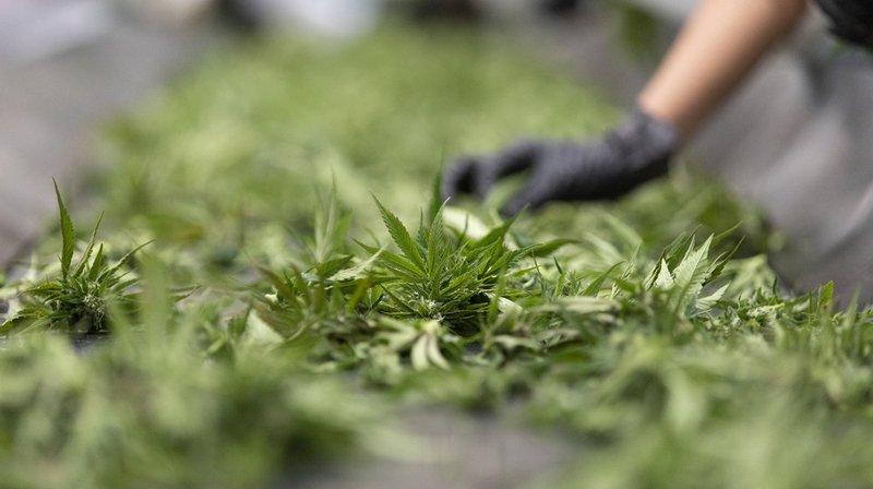 Les fleurs de cannabis doivent être taxées comme le tabac