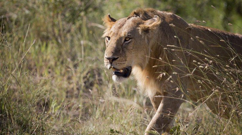 La lionne du Tikwe River Lodge a mordu l'avant-bras droit de l'homme qui essayait de la caresser. (Illustration)