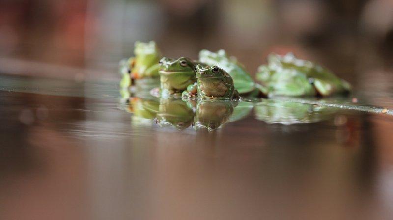 Environnement: une épidémie mondiale a déjà causé la disparition de 90 espèces d'amphibiens