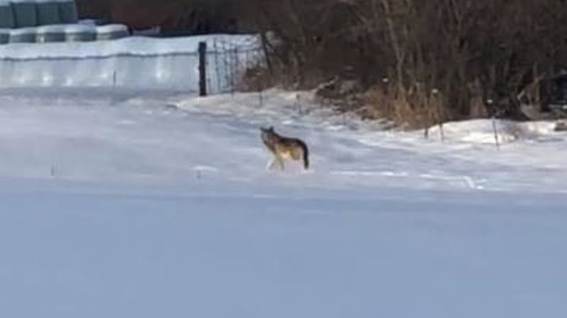 Vaud: le loup de Blonay en était bien un