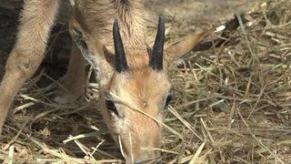 Des bébés oryx sont nés au zoo de Zurich