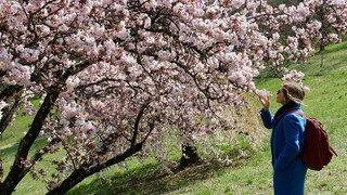 Aubonne: pluie de pétales pour la Fête du printemps de l'Arboretum