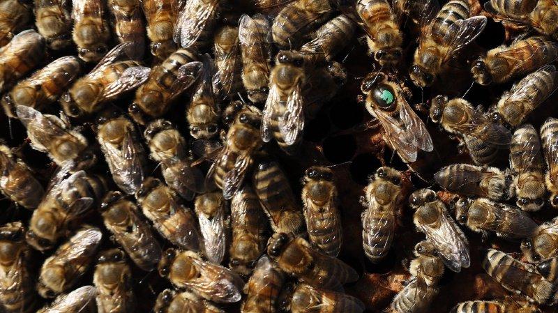 Rhône: des abeilles tuent deux chevaux du cirque Zavatta