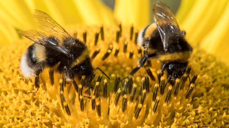 Les papillons, mouches et abeilles se font de plus en plus rares, notamment à cause de la disparition de leurs habitats naturels.