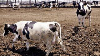 Pays-Bas: des vêtements fabriqués à partir de bouses de vache