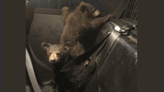 Etats-Unis: des policiers récupèrent trois oursons qui viennent de perdre leur maman