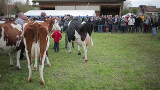 La Fête des vignerons a choisi samedi ses quarante vaches