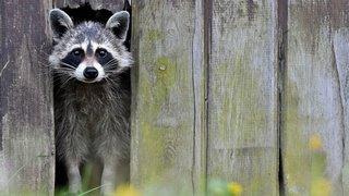Un raton laveur sauvage s'incruste dans un zoo, le parc est obligé de le garder