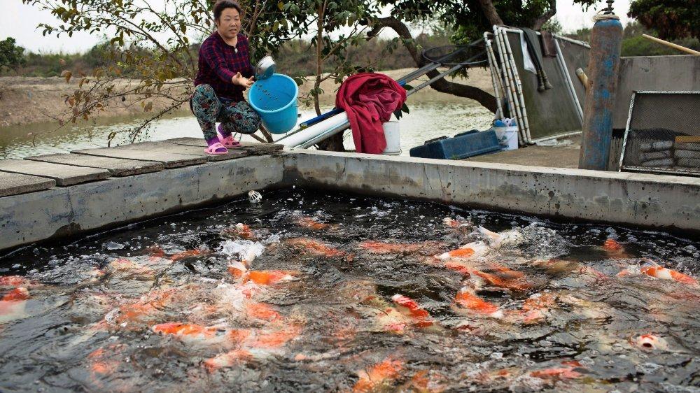 L'aquaculture est une vieille tradition en Chine, mais, aujourd'hui, les fermes piscicoles prennent des dimensions toujours plus industrielles.