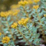 Conférence : Rhodiola Rosea plante adaptogène
