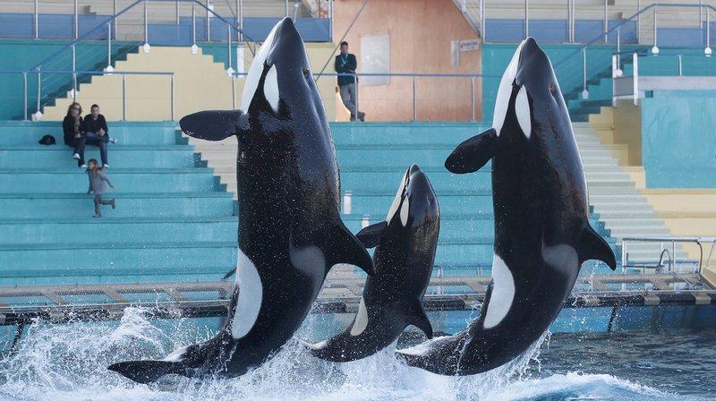 Le parc Marineland d'Antibes propose notamment des spectacles d'orques. (Illustration)