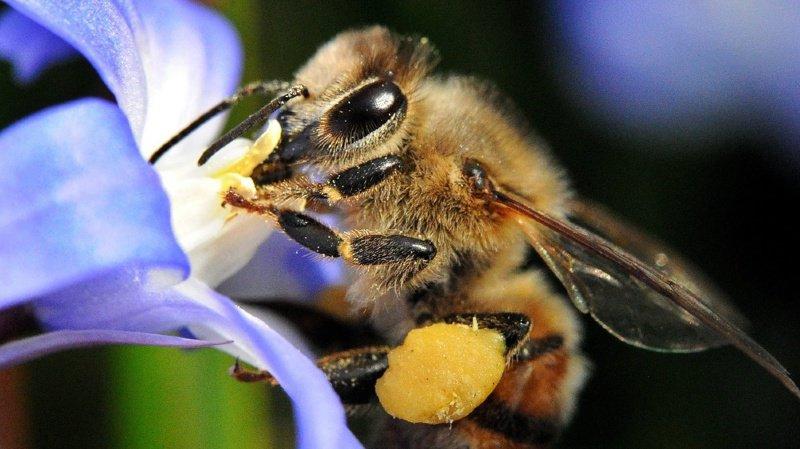 Environnement: un peu moins d'ordre dans nos jardins ferait du bien aux abeilles