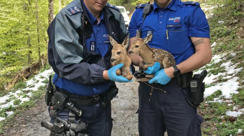 Saint-Gall: des policiers ramènent des petits faons égarés à leur mère