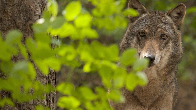 Depuis sa réapparition en Suisse en 1995, puis la formation des premières meutes en 2012, le loup a régulièrement figuré au menu des sessions des Chambres fédérales (illustration).