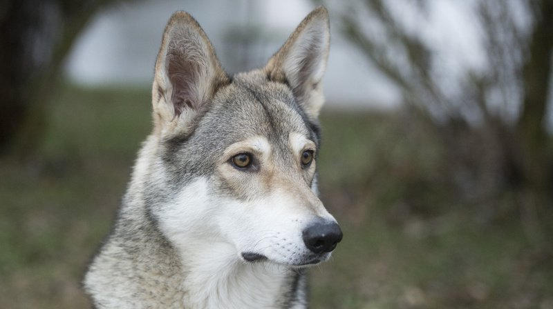 Allemagne: l'abattage des loups sera autorisé en cas d'attaque de troupeaux