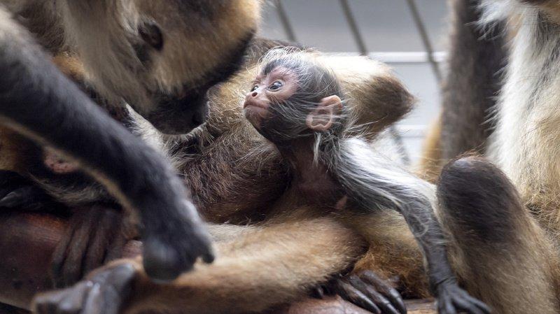 Animaux: une atèle, espèce de primates en danger, est née au zoo de Bâle