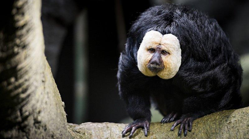 Frédérick est l'un des deux singes Sakis à face pâle qui a pris ses quartiers dans la serre tropicale d'Aquatis à Lausanne.