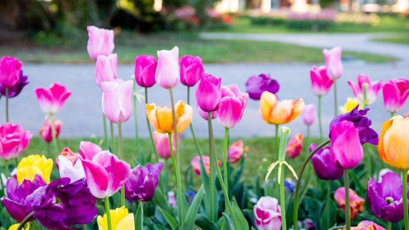 Les bulbes des tulipes de Morges seront en vente mercredi dès 11h30.