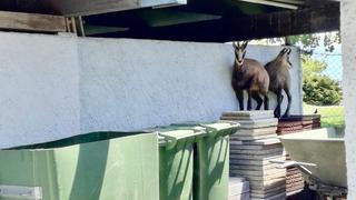 Deux chamois se mêlent aux baigneurs à la piscine de Morges