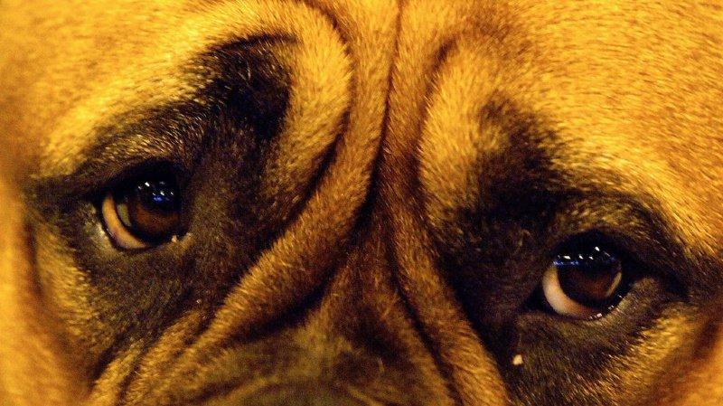 Les scientifiques ont découvert deux muscles bien formés autour des yeux des chiens, mais qui ne l'étaient pas chez les loups. (illustration)
