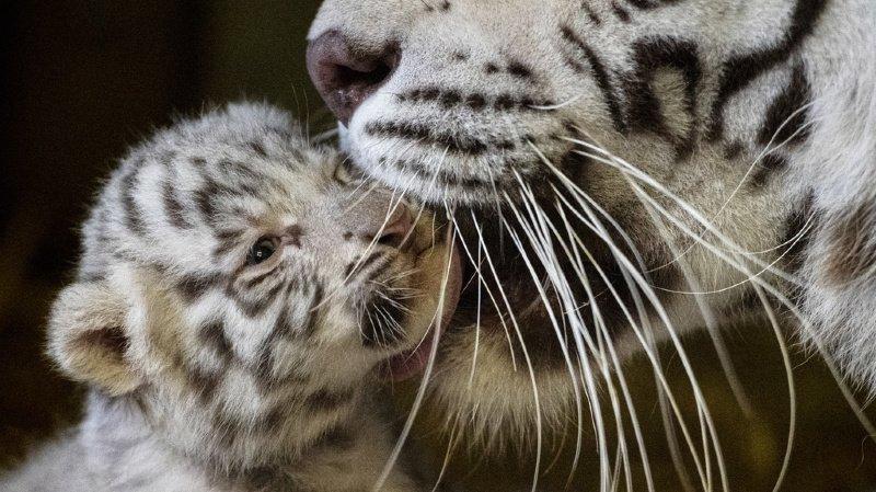 Une enquête judiciaire a été ouverte en Tunisie contre un Libyen qui tentait de faire passer illégalement des bébés tigres blancs dans son pays (image d'illustration).