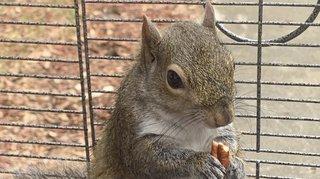 Etats-Unis: un écureuil dopé à la méthamphétamine pour qu'il reste agressif