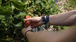 Cette année, les fraises évitent de peu la déconfiture