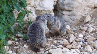 Trois petits marmottons sont nés à La Garenne