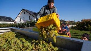 Fixés avec Changins, les quotas vinicoles s'inscrivent en léger recul