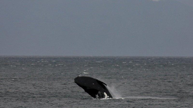 La baleine noire (ou baleine franche) est une espèce protégée dont la population est estimée à 412 dans le monde.