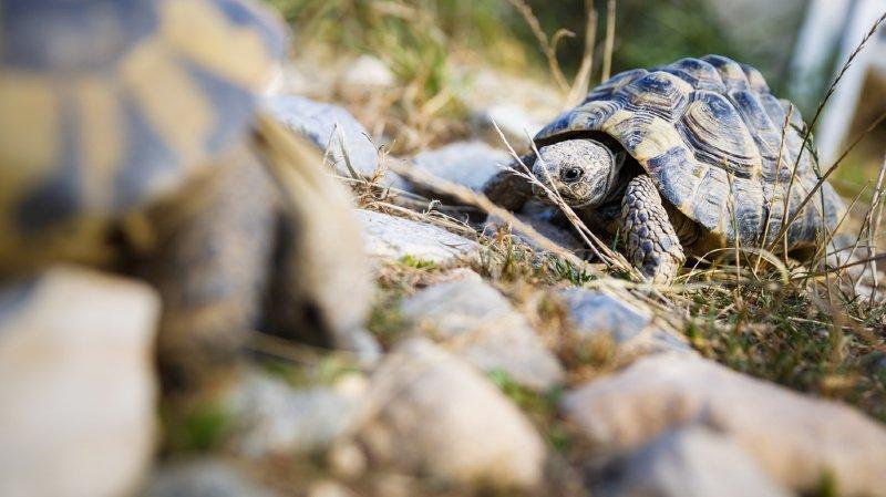 L'an dernier, l'association qui fête ses 25 ans a ainsi recueilli 570 de ces reptiles.