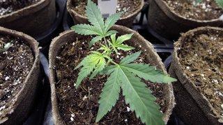 Accès au cannabis médical: le projet mis en consultation
