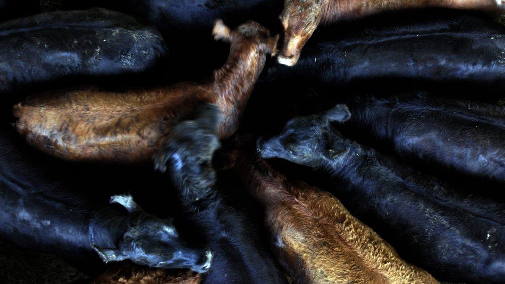La viande des bœufs de cet élevage argentin pourrait, si l'accord est signé, arriver sur le marché suisse, à hauteur de 1800 tonnes par an.