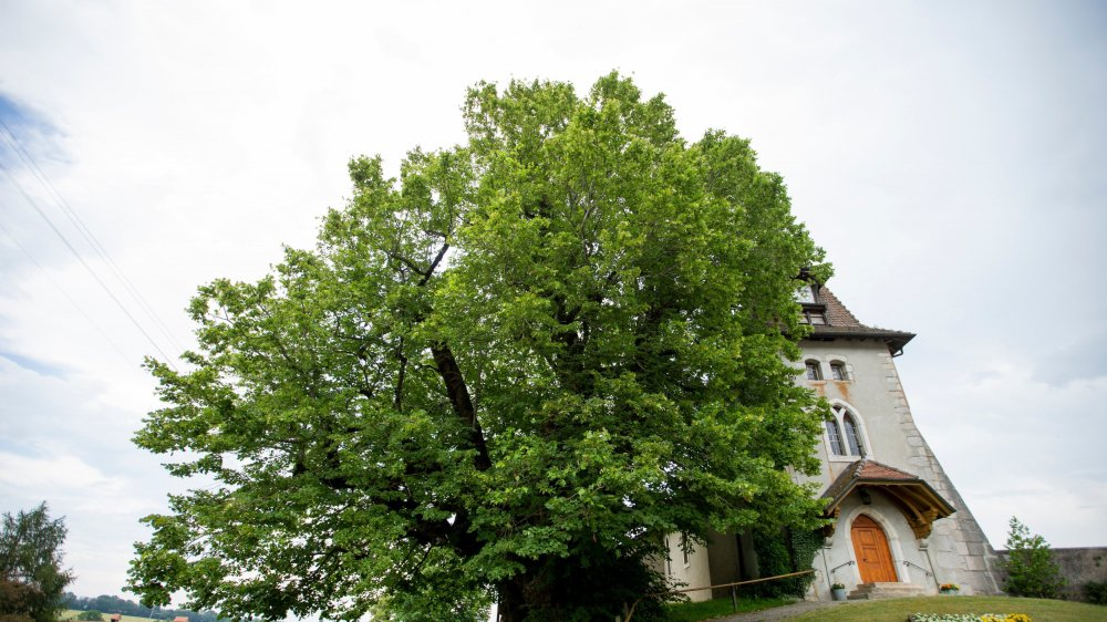 Emblème de la commune, le tilleul à grandes feuilles de Marchissy est le deuxième plus gros et plus vieux de Suisse après celui de Linn, en Argovie.