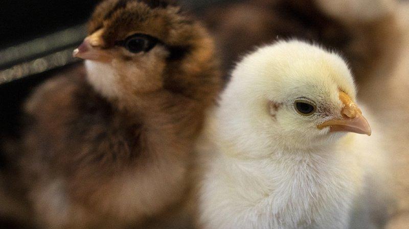 Il s'agit d'encourager le choix d'une autre méthode et la détermination du sexe dans l'œuf. (illustration)