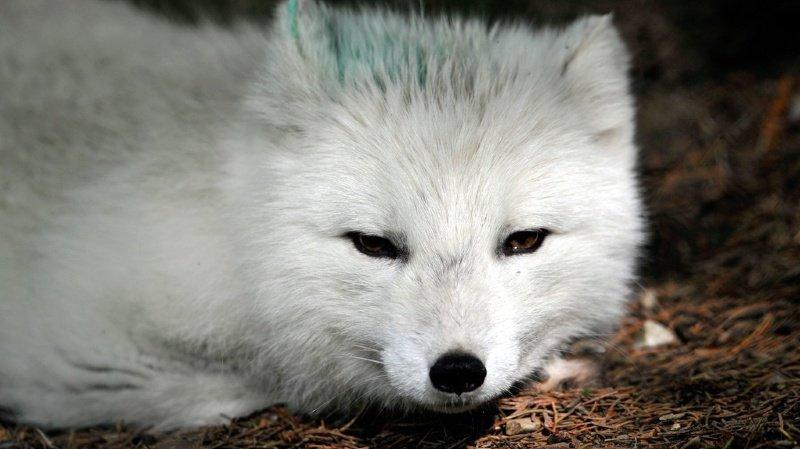 Animaux: une renarde polaire réalise un exploit entre la Norvège et le Canada