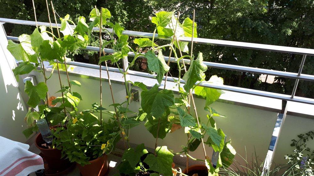 Les trois petits plants de concombres très fructueux sur le balcon d'Amélie Streit en plein cœur de Nyon.