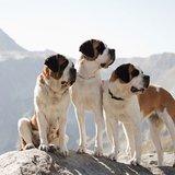 Désalpe des chiens du St-Bernard