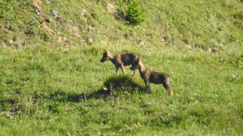 Grisons: trois nouveaux louveteaux observés dans l'ouest du canton