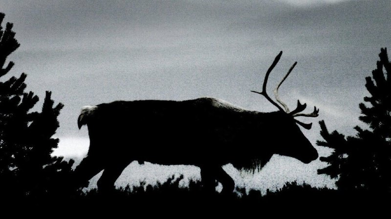 Selon les chercheurs de l'Institut polaire, il faut remonter à l'hiver 2007-2008 pour retrouver un degré comparable de mortalité des rennes. (Archives)